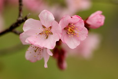 Cherry Blossom Flower Macro 7