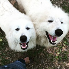 dog breed, animal, polish tatra sheepdog, dog, maremma sheepdog, slovak cuvac, carnivoran, great pyrenees, samoyed,