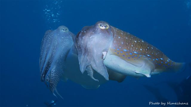産卵前のコブシメのペア