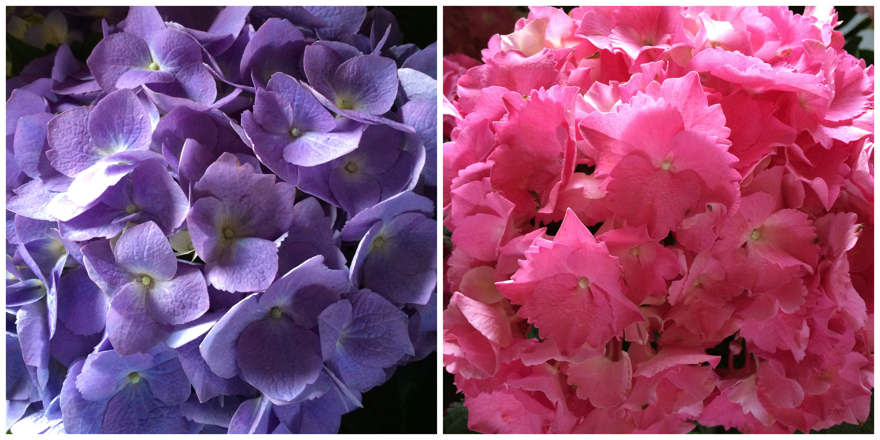 hydrangeas_collage