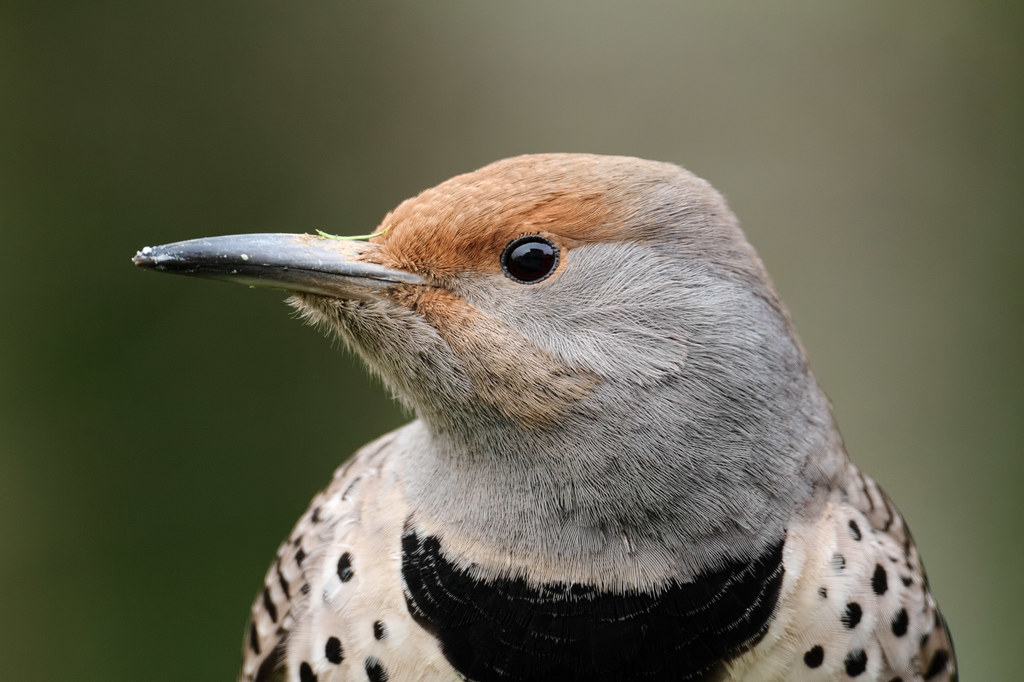 A close-up view of a female northern flicker