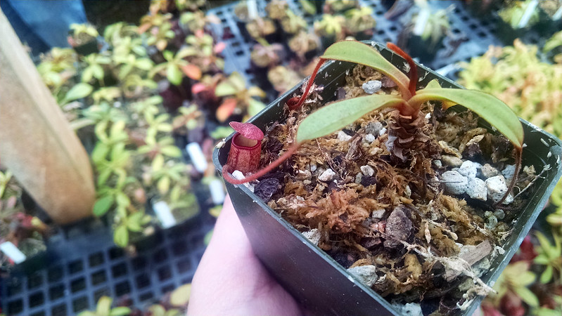 Nepenthes argentii.