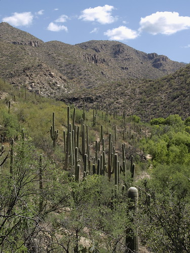 arizona cactus nature tucson coronadonationalforest catalinamountains saguaros catalinas sabinocanyon santacatalinamountains blufftrail carnegieagigantea carnegiea sabinocanyon20150525