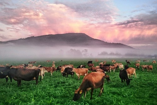 Cows misty sunrise