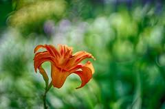 lily bokeh