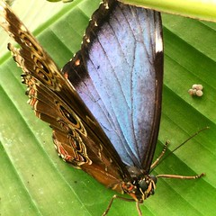 Iridescent blue @natural_history_museum #London #butterfly #insect
