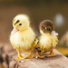 Easter chicks by J C Mills Photography