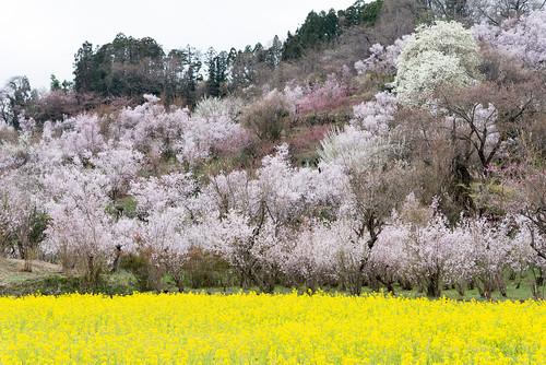 japan spring 桜 日本 cherryblossoms fukushima 春 菜の花 2015 福島県 東北地方 福島市 nikond610