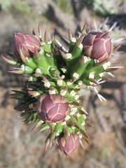 thistle(0.0), produce(0.0), food(0.0), artichoke thistle(0.0), opuntia(0.0), flower(1.0), plant(1.0), thorns, spines, and prickles(1.0), wildflower(1.0), flora(1.0), cactus family(1.0), protea(1.0),
