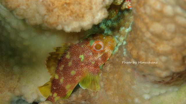サンゴを覗くと可愛いカスリフサカサゴちゃん