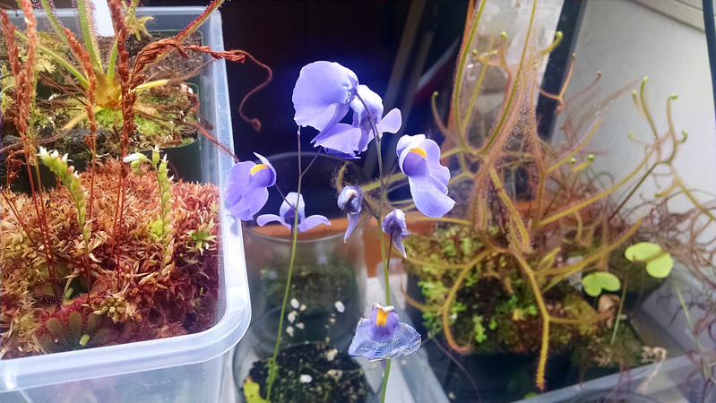 Utricularia longifolia flowers with aphid damage.