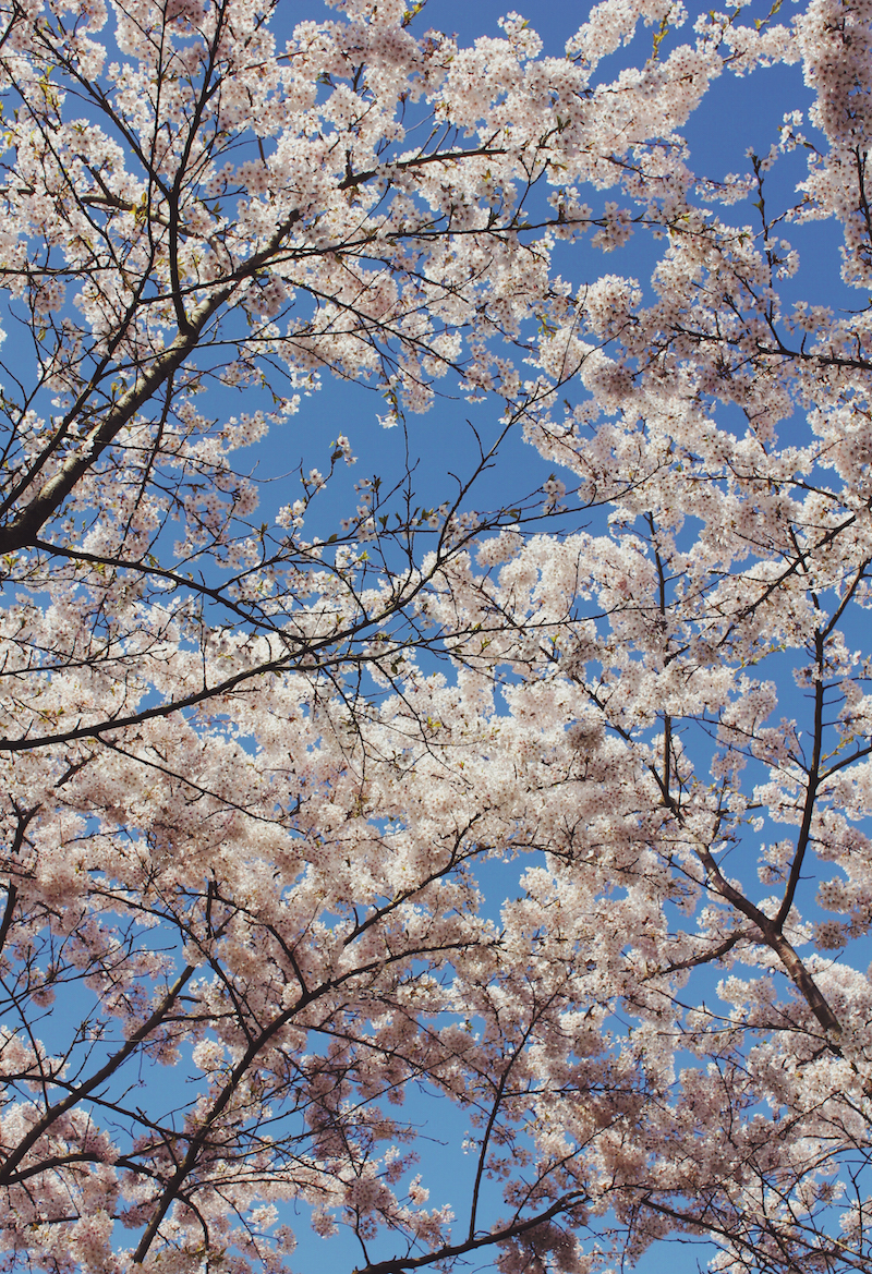 Cherry blossoms in Amsterdam Japanse Bloesempark