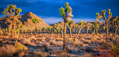 blue trees orange plants contrast sunrise glow desert vibrant joshuatree surreal hills complimentary suesslike