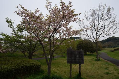 10矢那川ダム広場の桜_4