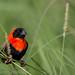 Southern Red Bishop by gerdavs