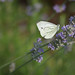 Lavender Butterfly by hans_polet