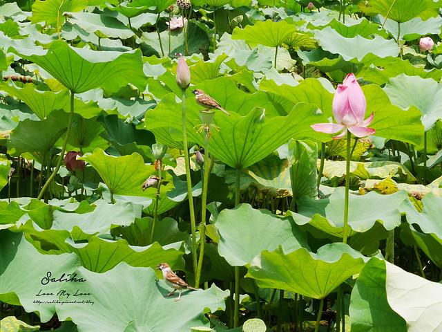 台北一日遊景點推薦植物園荷花蓮花池 (27)