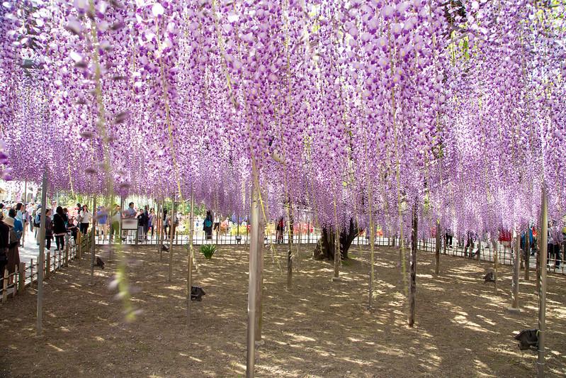 ashikaga_flowerpark-48