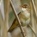 Reed Warbler (Explored) by redmanian