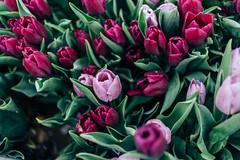 2425 Tulips
