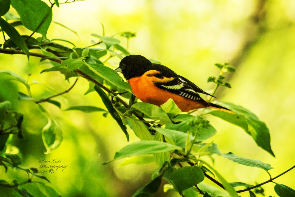 Baltimore Oriole at Magee Marsh