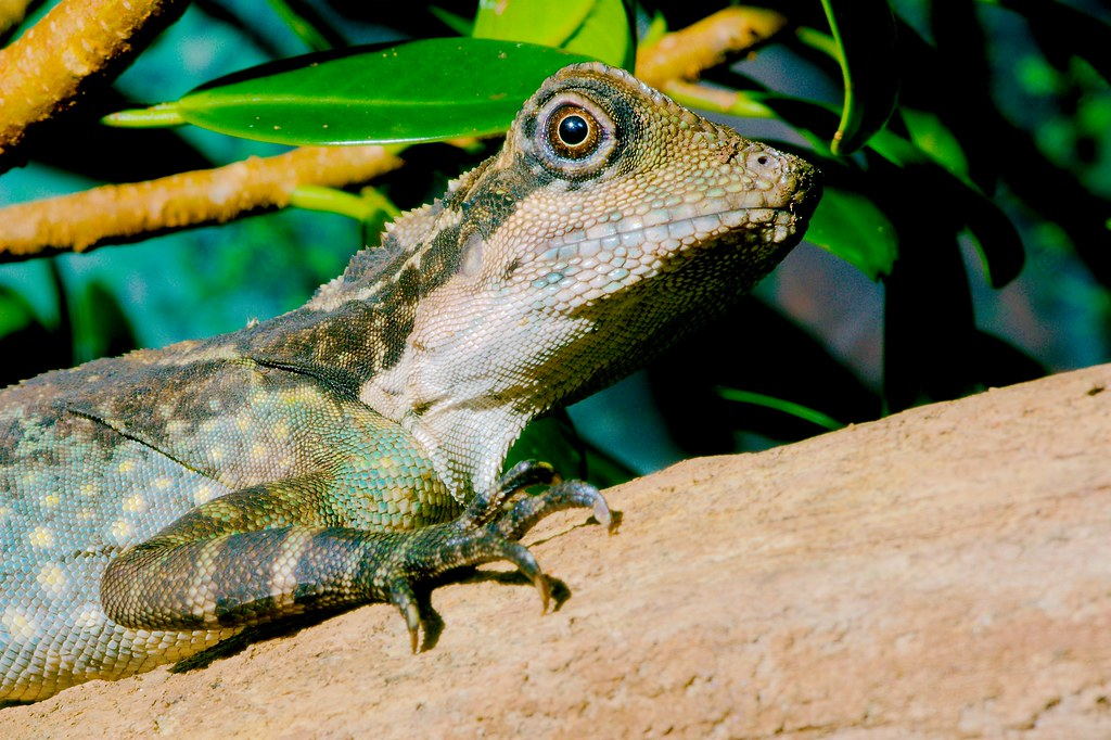 Giant Hump-headed Lizard (Gonocephalus grandis)_4