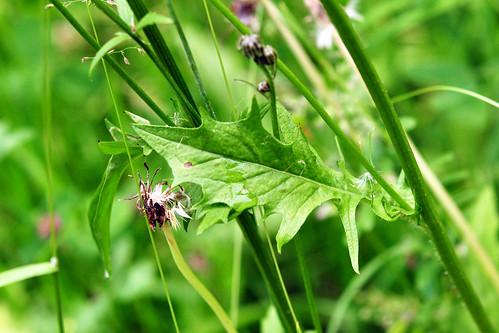 Wiesen-Pippau (Crepis biennis) Blatt