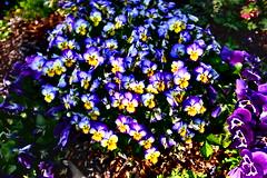 aubrieta(0.0), pansy(1.0), annual plant(1.0), flower(1.0), purple(1.0), plant(1.0), flora(1.0), viola(1.0),