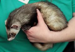animal(1.0), weasel(1.0), mustelidae(1.0), mammal(1.0), polecat(1.0), whiskers(1.0), ferret(1.0),