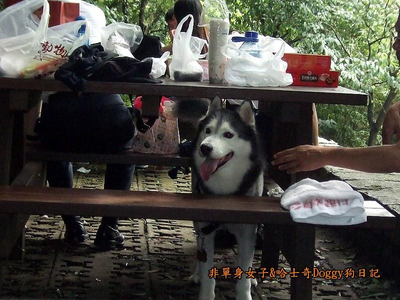 哈士奇Doggy2012陽明山二子坪03
