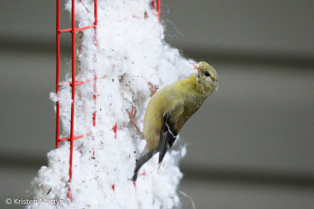 American Goldfinch (Spinus tristis)- Collecting Nesting Materials