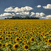 SUNFLOWER PARADISE by ANTHONYALLEN'S PHOTOS