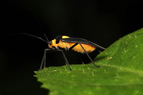 Hemiptera, Heteroptera, Miridae sp. (Leaf Bug) - Costa Rica