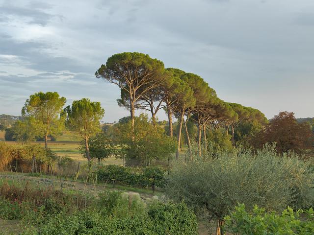 Pinus pinaster in Umbria