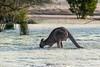 Kangaroo feeding on frozen grass