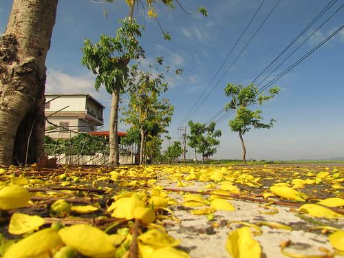 阿勃勒是泰國國花。泰國是許多客家人的僑居地,樂樂兄弟倆的外公,就是二十世紀初在泰國出生的廣東客家人。攝影:李慧宜