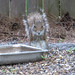 Small photo of Magical all-powerful gray squirrel