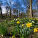 Daffodils in the blustery wind
