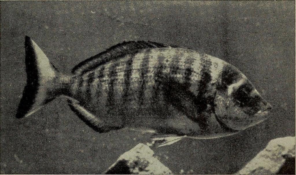 """Image from page 312 of """"Annali del Museo civico di storia naturale Giacomo Doria"""" (1916)"""