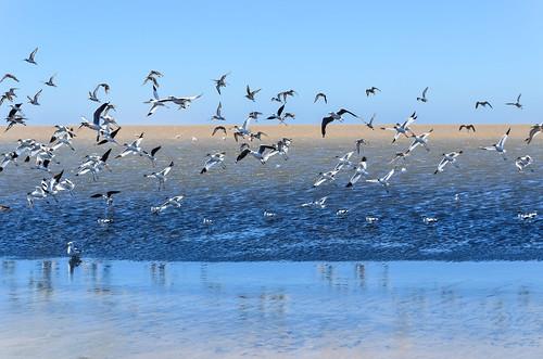 Oiseaux de la lagune de Walvis Bay, Namibie