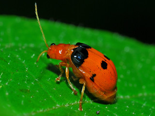 Leaf Beetle (Sonchia ? sp.)
