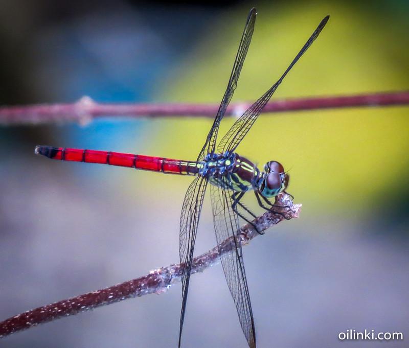 Dragonfly in Phuket