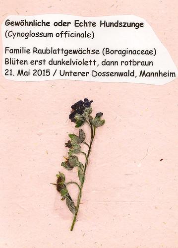 Herbarium gepresste Pflanzen Mannheim Pfalz Odenwald Gewöhnliche Hundszunge Cynoglossum officinale