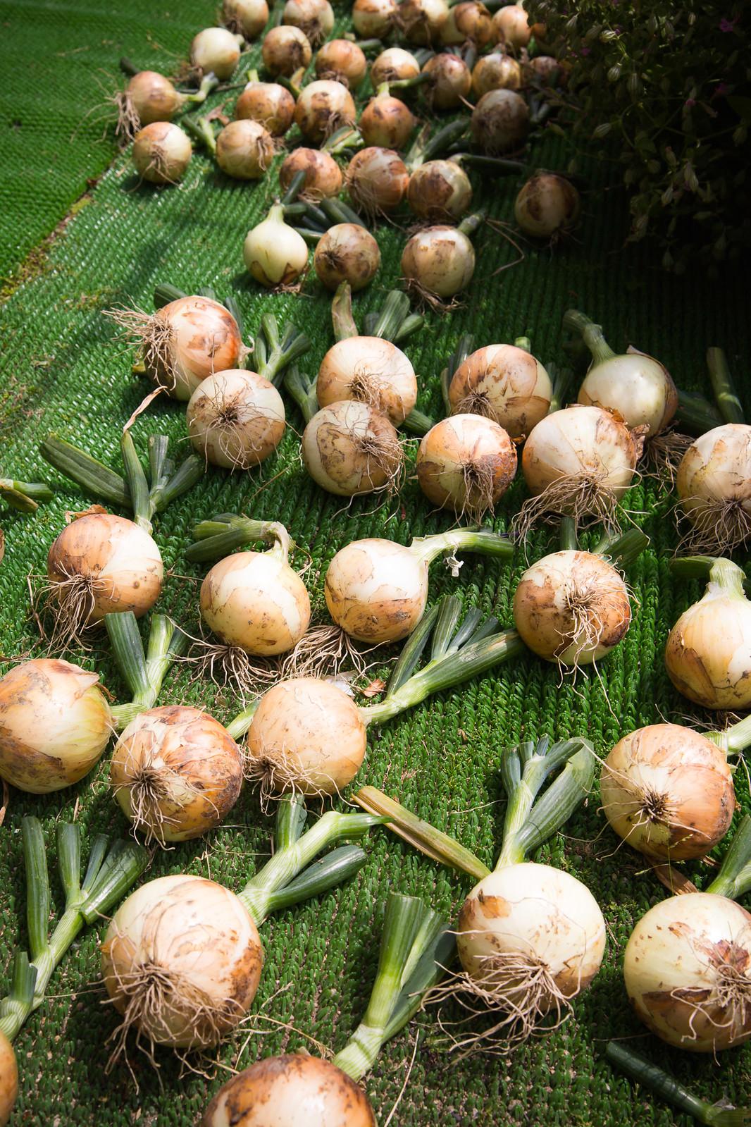 収穫したタマネギ