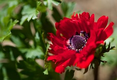 Anemone in Red!