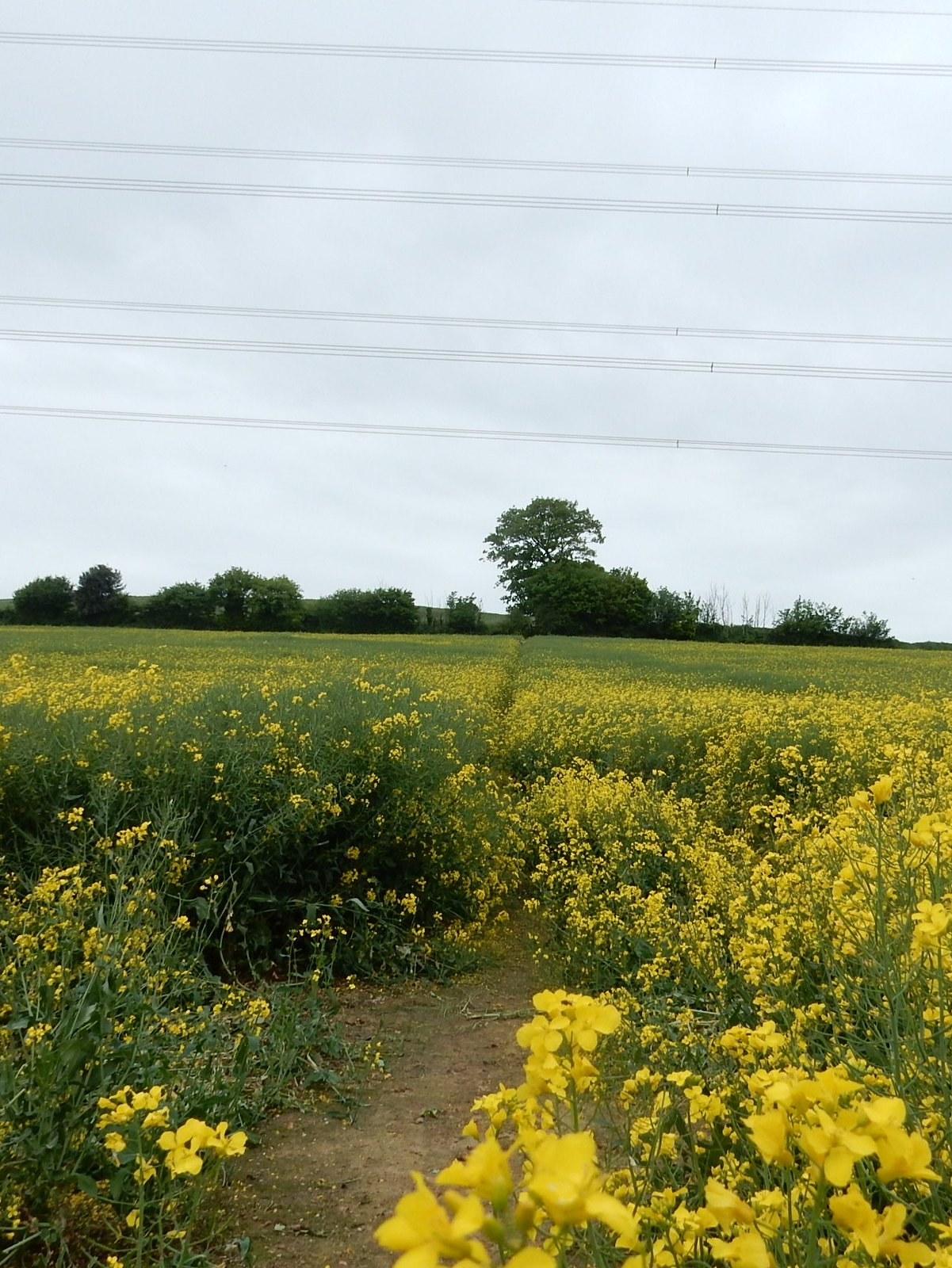 Rapefield and power lines Bures to Sudbury