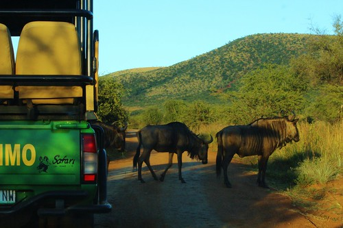 Stopped behind Solomzi as we wait for the Wildebeest to cross