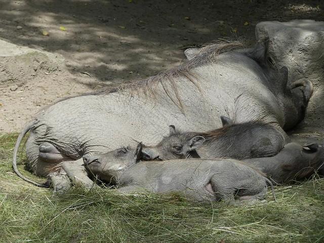 Warzenschweine, Opel-Zoo