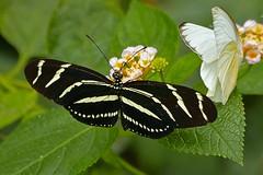 Sebra triibuline liblikas
