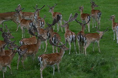 Fallow Deer (mostly)